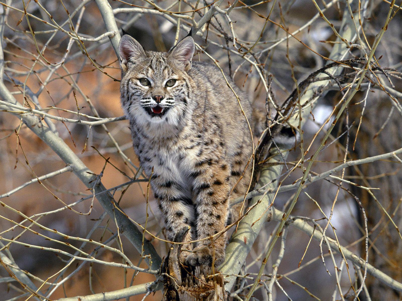 природа животные ветка деревья рысь nature animals branch trees lynx  № 559965 бесплатно
