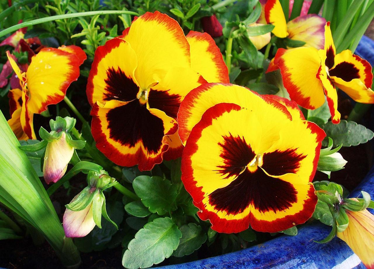 анютины глазки цветы фото: