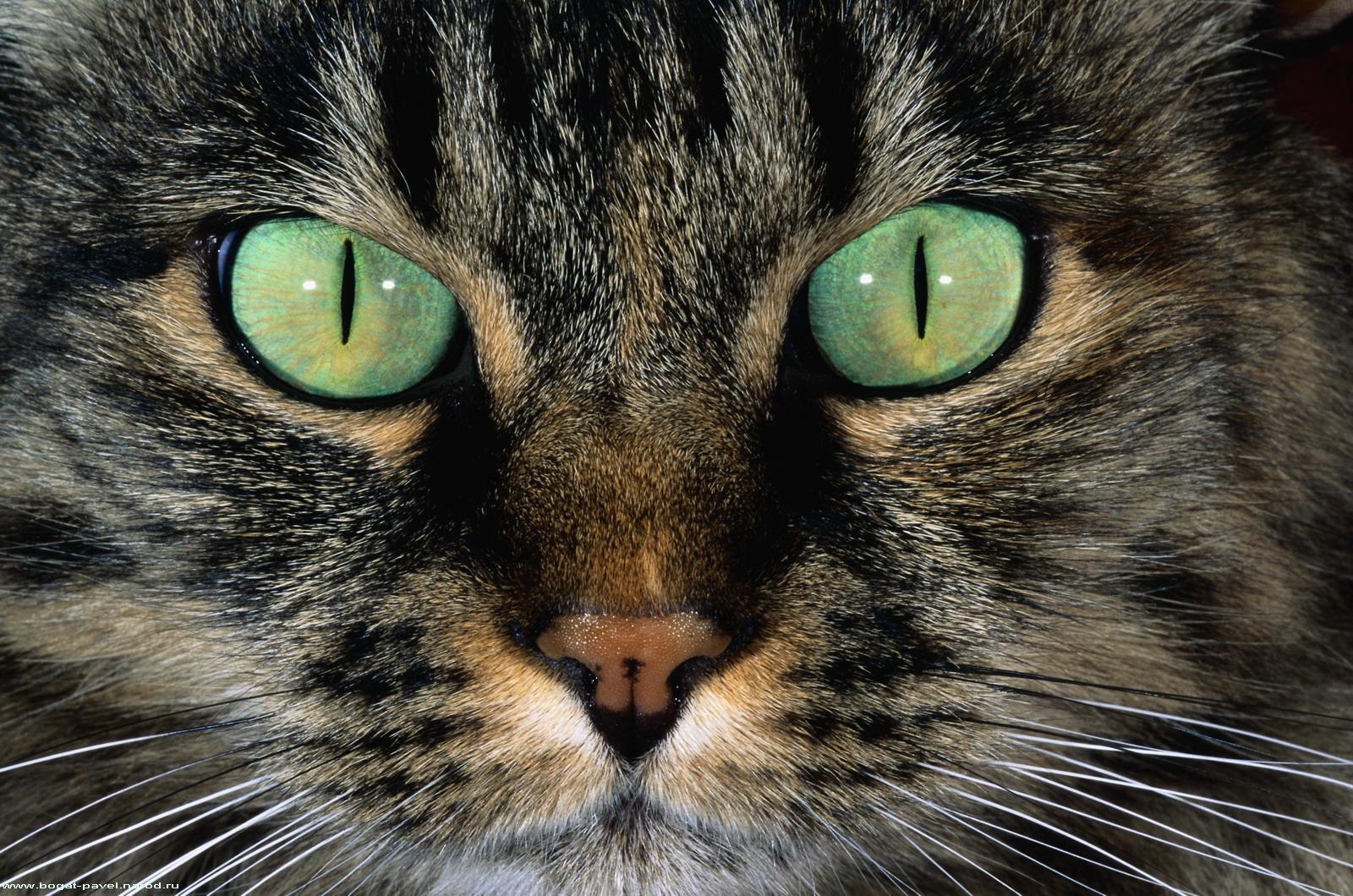 кот глаза зеленые скачать