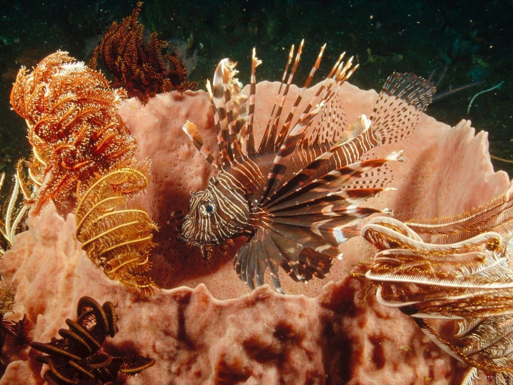 Фото крылатка Рыбы Подводный мир животное Крылатки Животные