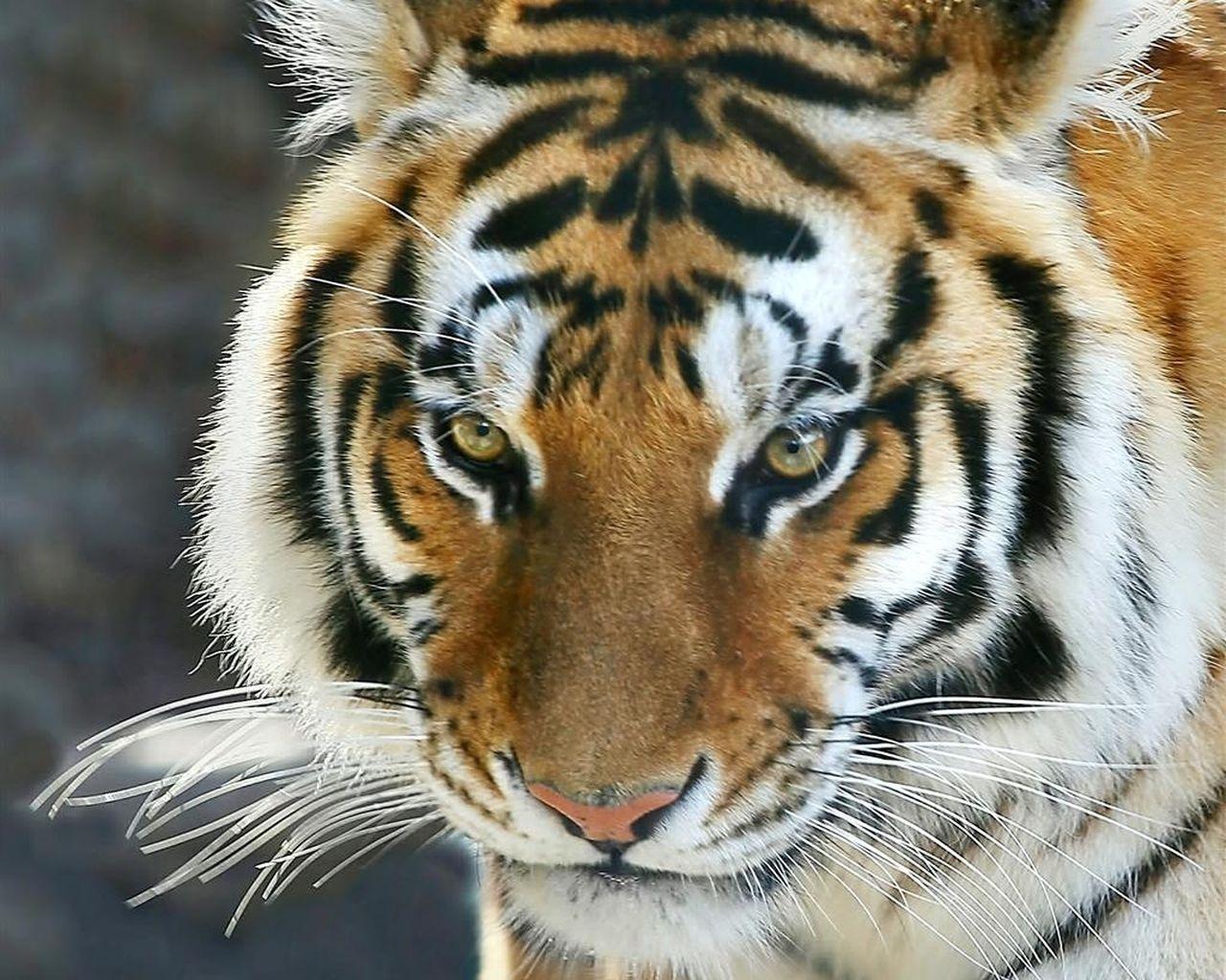 Тигры обои для рабочего стола картинки животных на