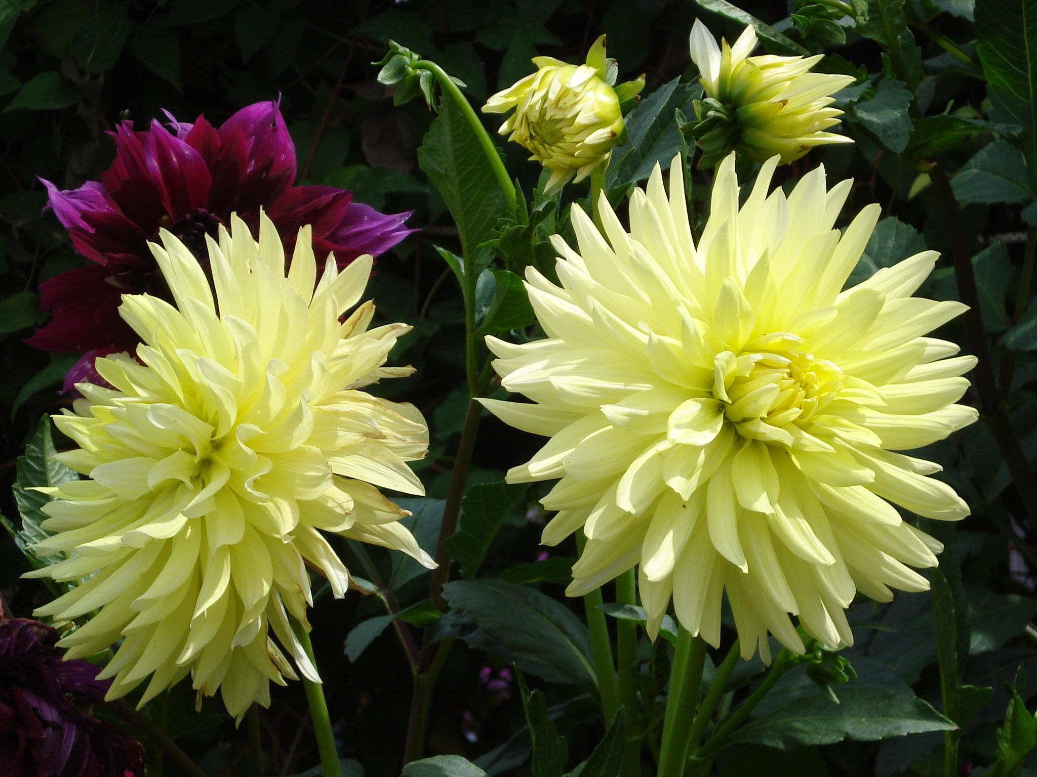 георгин цветок фото:
