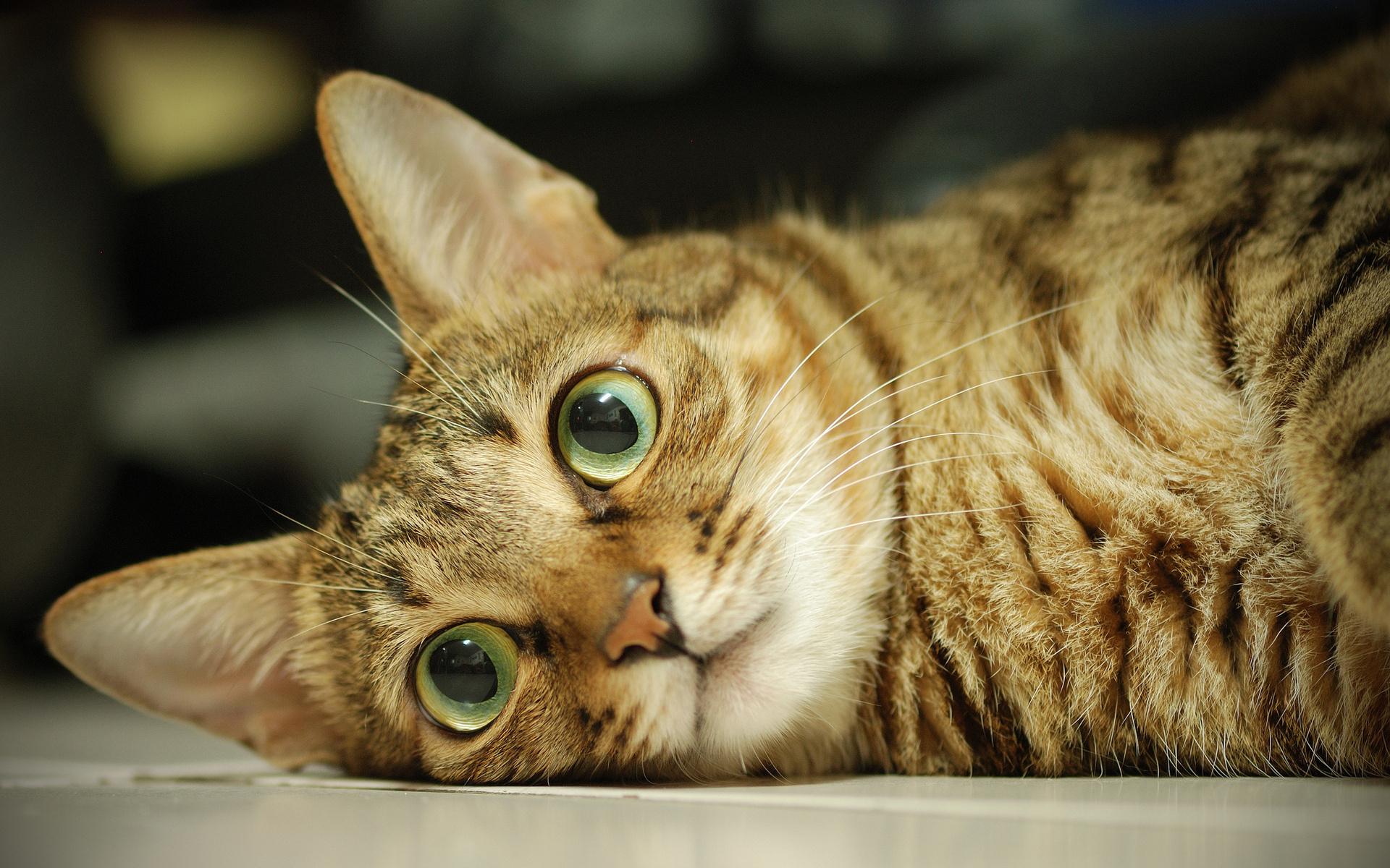 кошка глаза шерсть  № 1963620 бесплатно