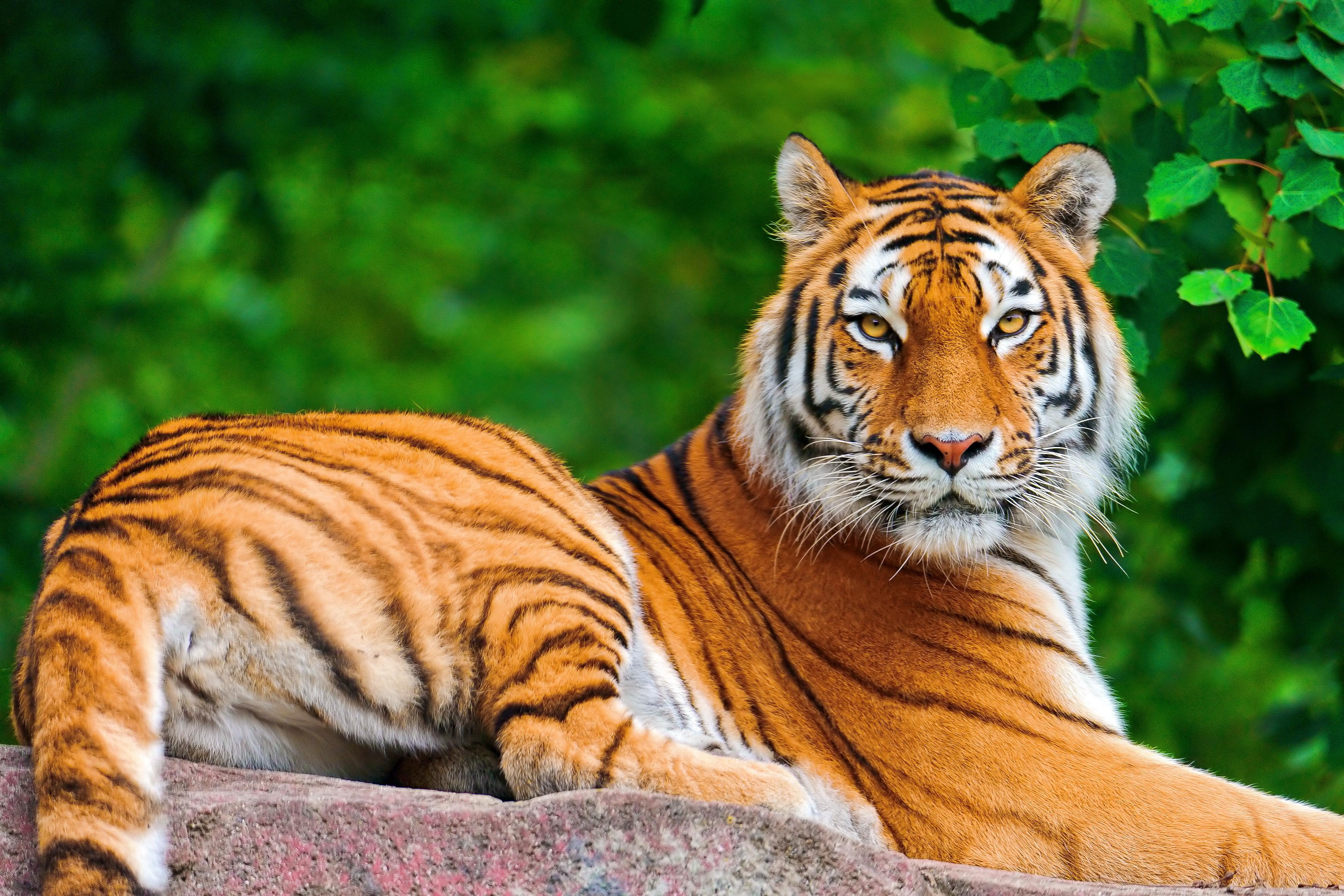 Тигр под пальмой тигр взгляд вверх  № 2081227  скачать