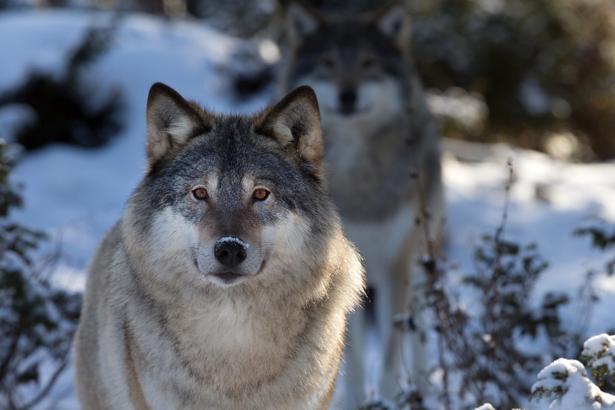 Скачать Обои На Телефон Волки