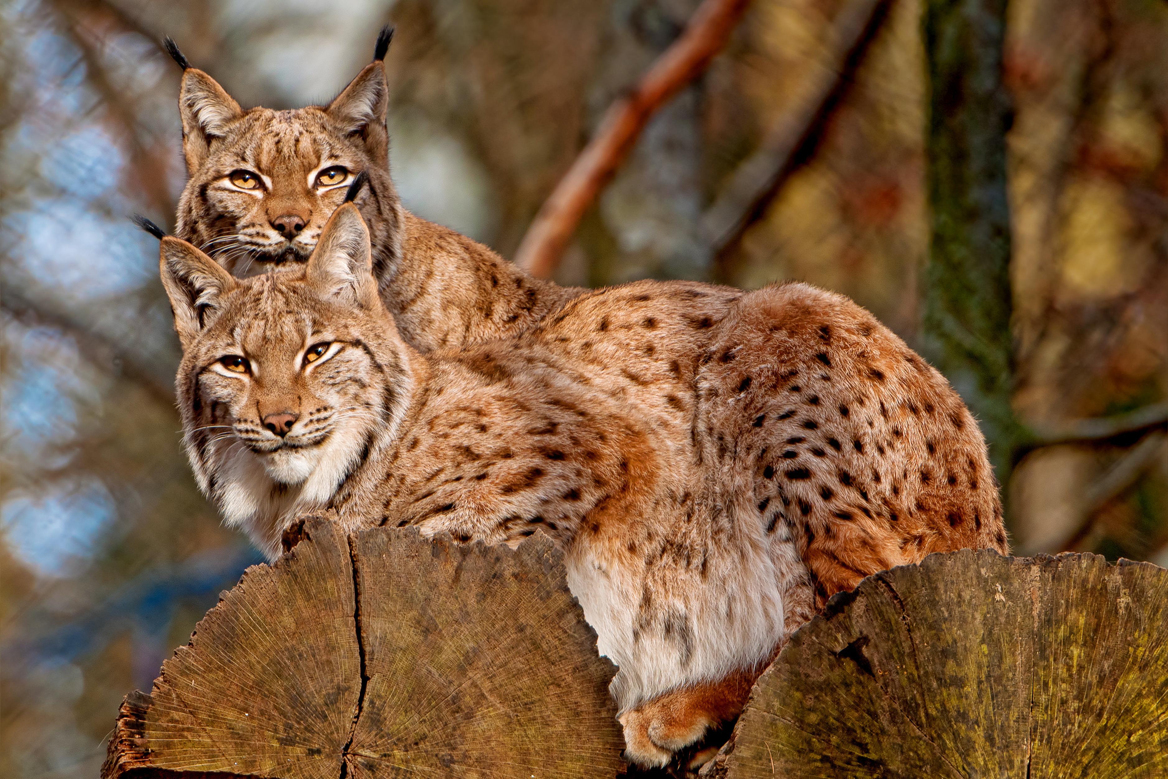 природа животные ветка деревья рысь nature animals branch trees lynx  № 559921  скачать