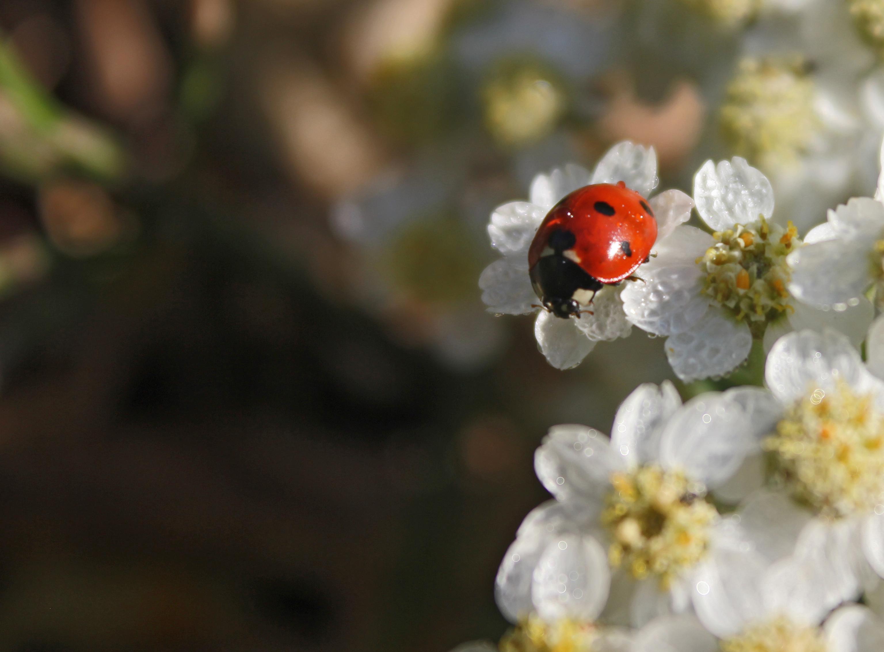природа насекомое божья коровка цветок  № 3008095 бесплатно