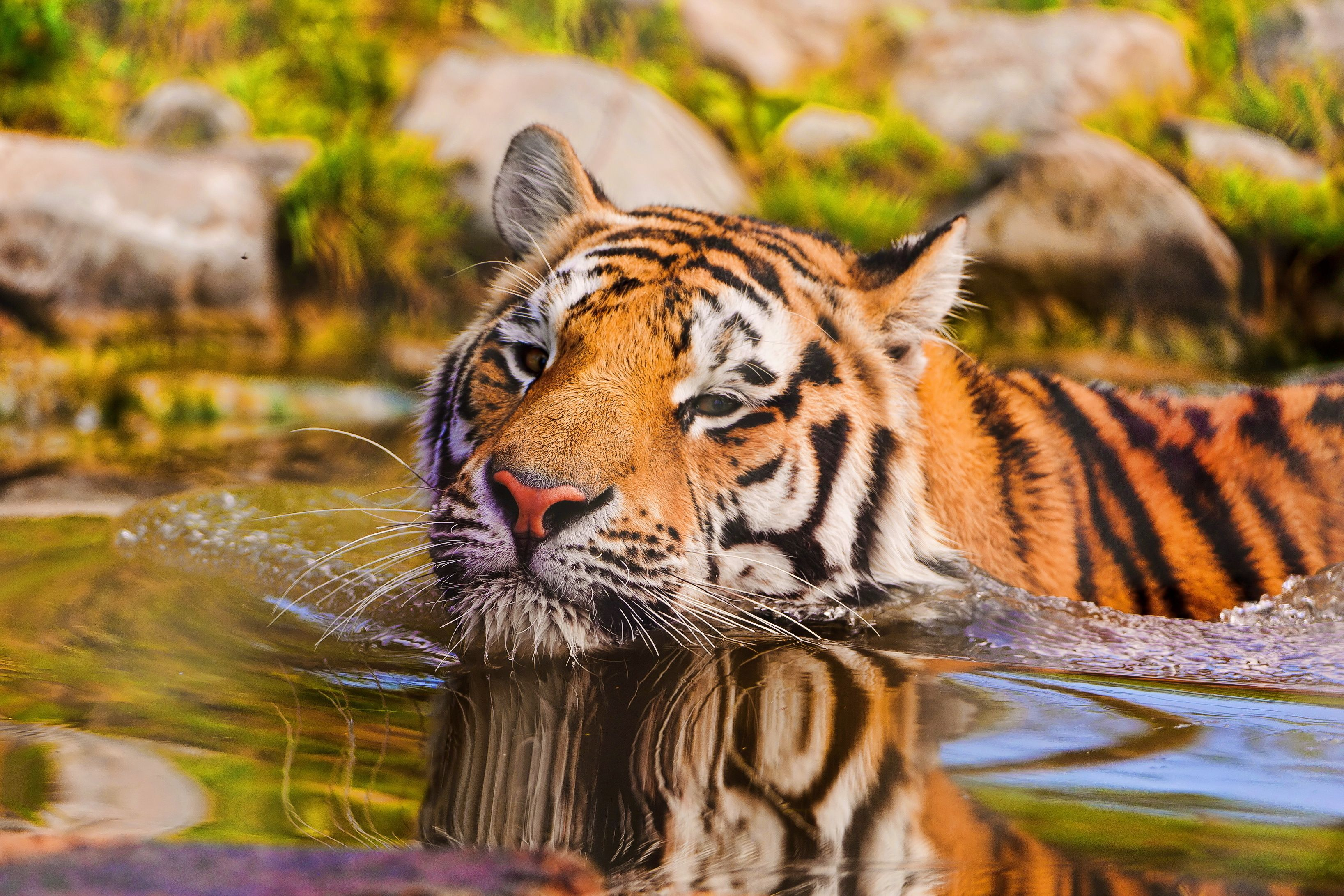 Обои для рабочего стола тигры в воде
