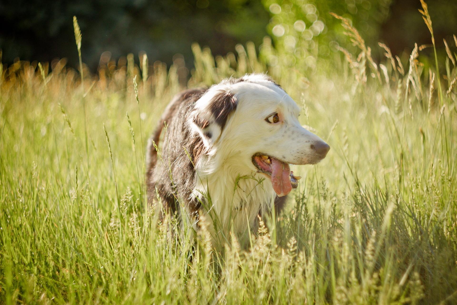 собачка трава лето  № 3650102 бесплатно