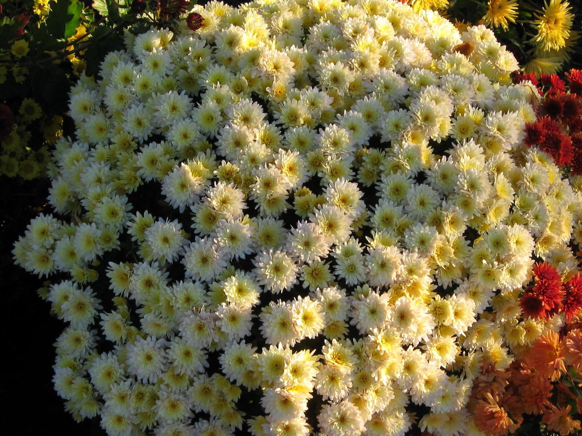 обои для рабочего стола осенние цветы хризантемы № 1155223  скачать