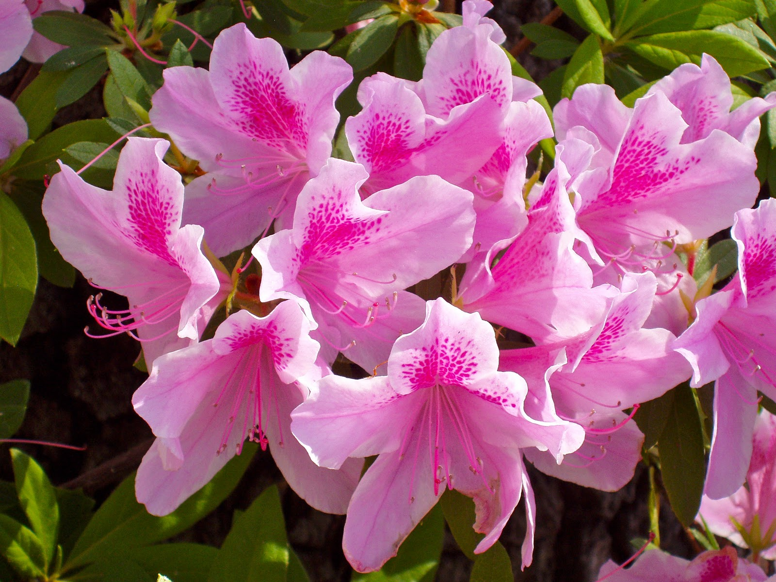 цветок азалия фото: