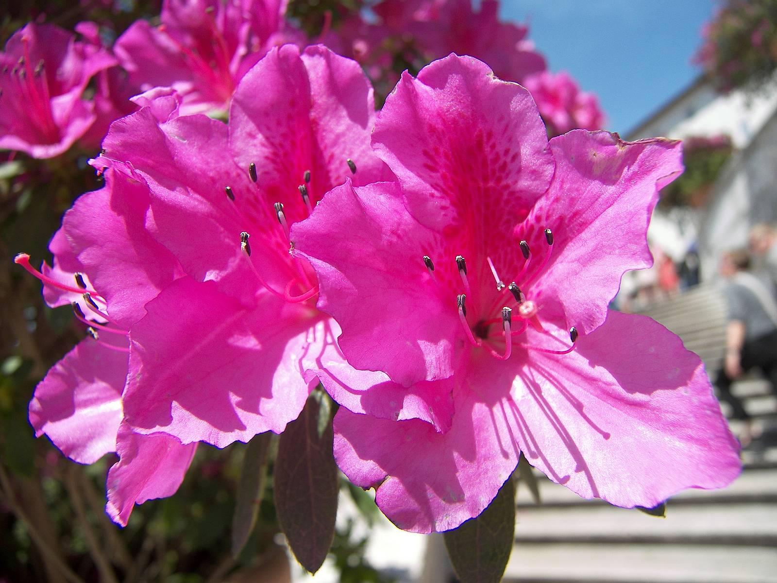 Рододендрон фото домашний цветы