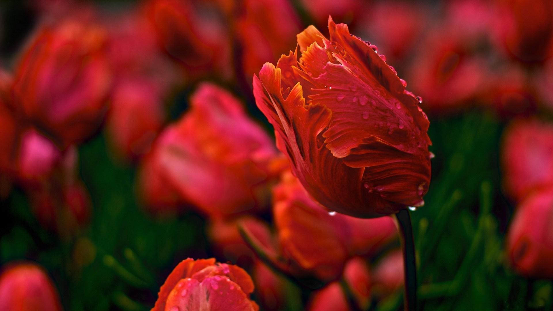 красные тюльпаны бутоны цветы без смс