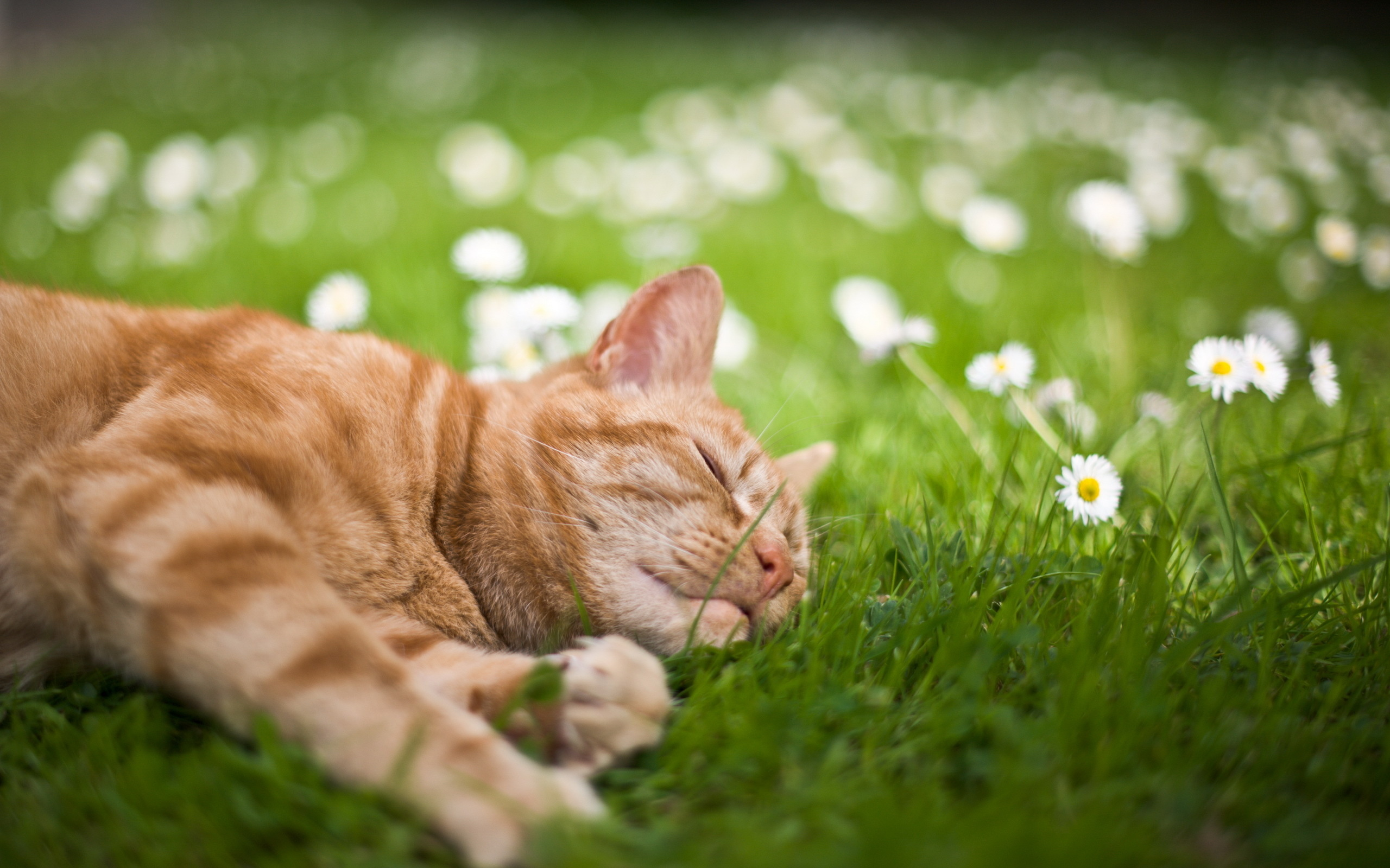 Кот белый в траве бесплатно