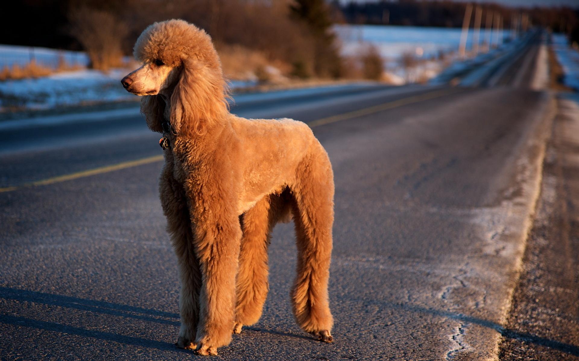 Скачать обои фото картинку на тему пудель, дорога, собака, разширение