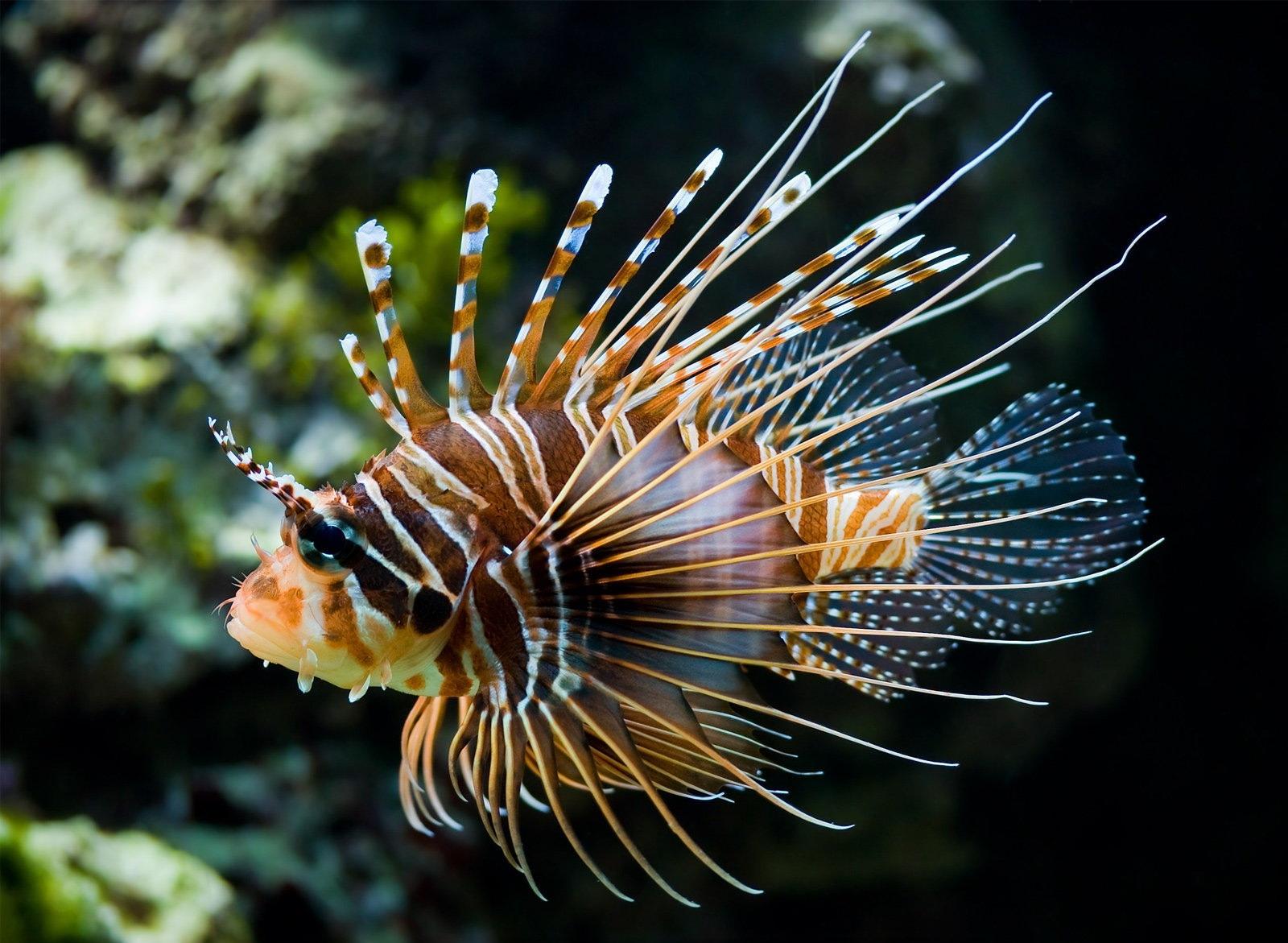 Фотографии Крылатки Рыбы Подводный мир животное крылатка Животные