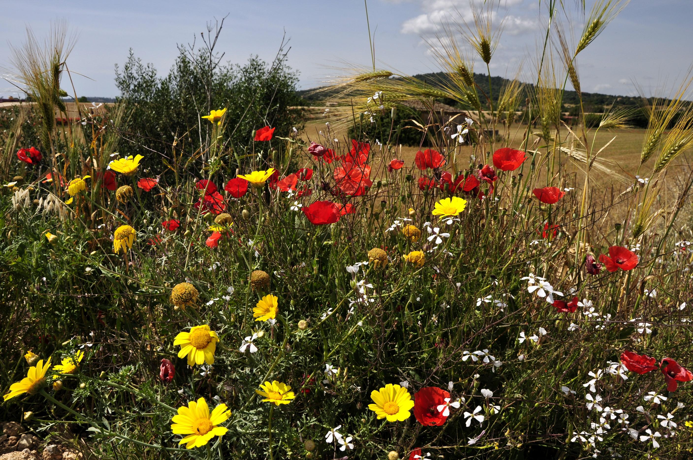 зеленые колосья цветы поляна  № 3213866 бесплатно