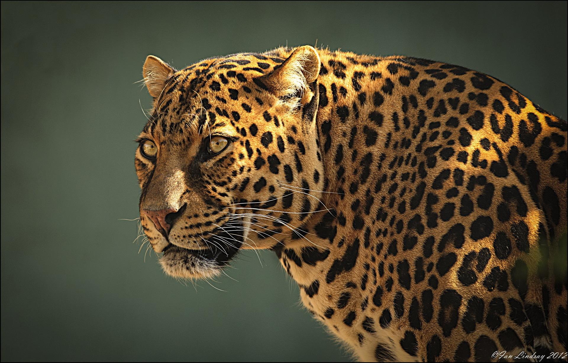 Ягуар хищник взгляд камни  № 3658030  скачать