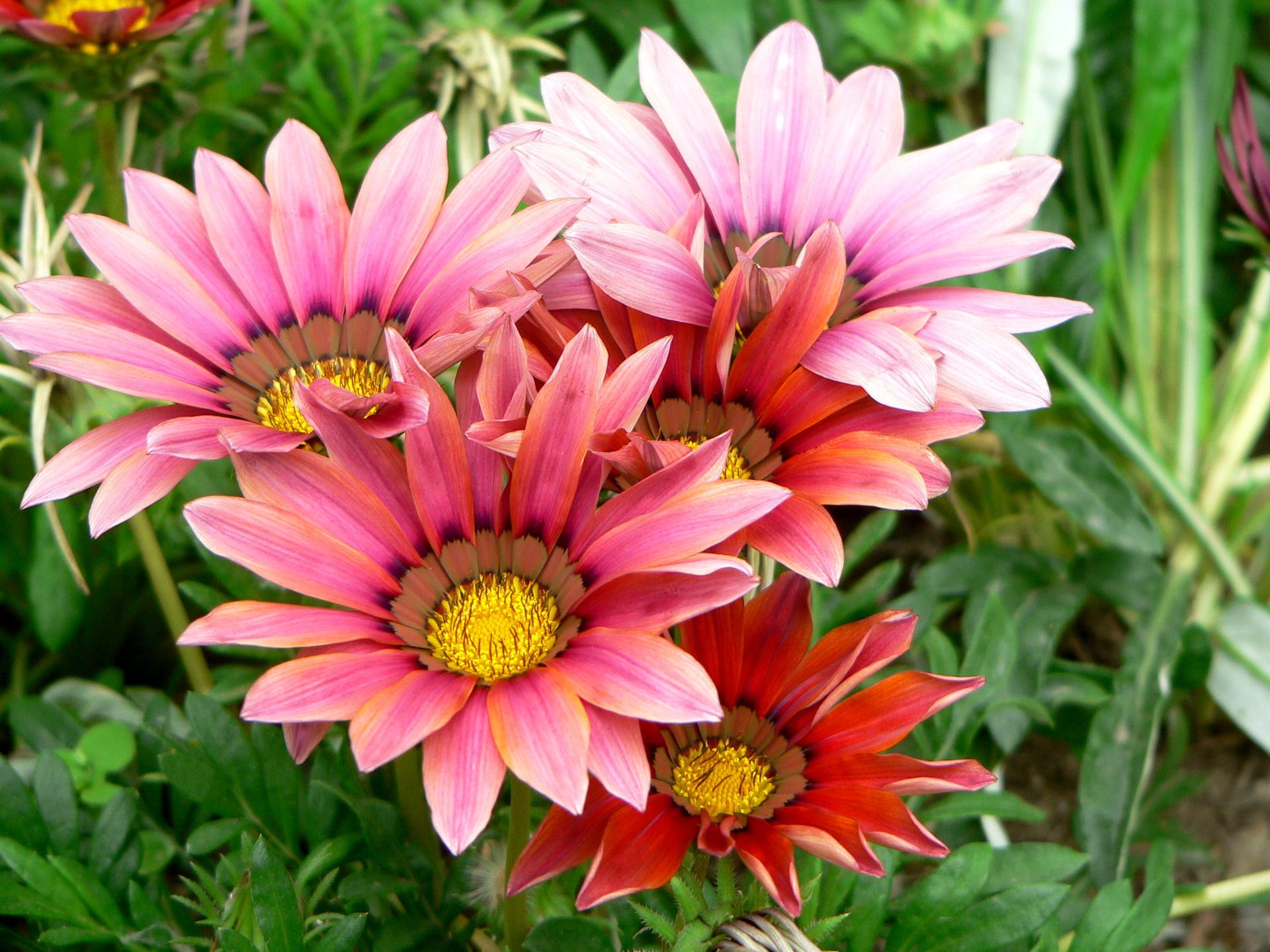 Цветы садовые гацания