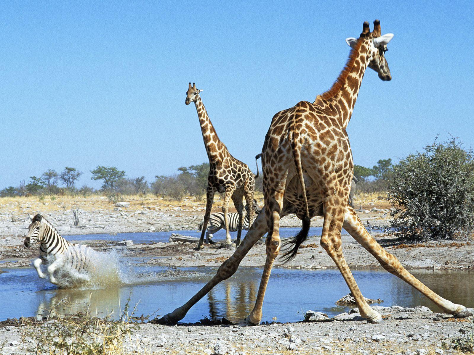 Жираф испугался  № 3895635 загрузить