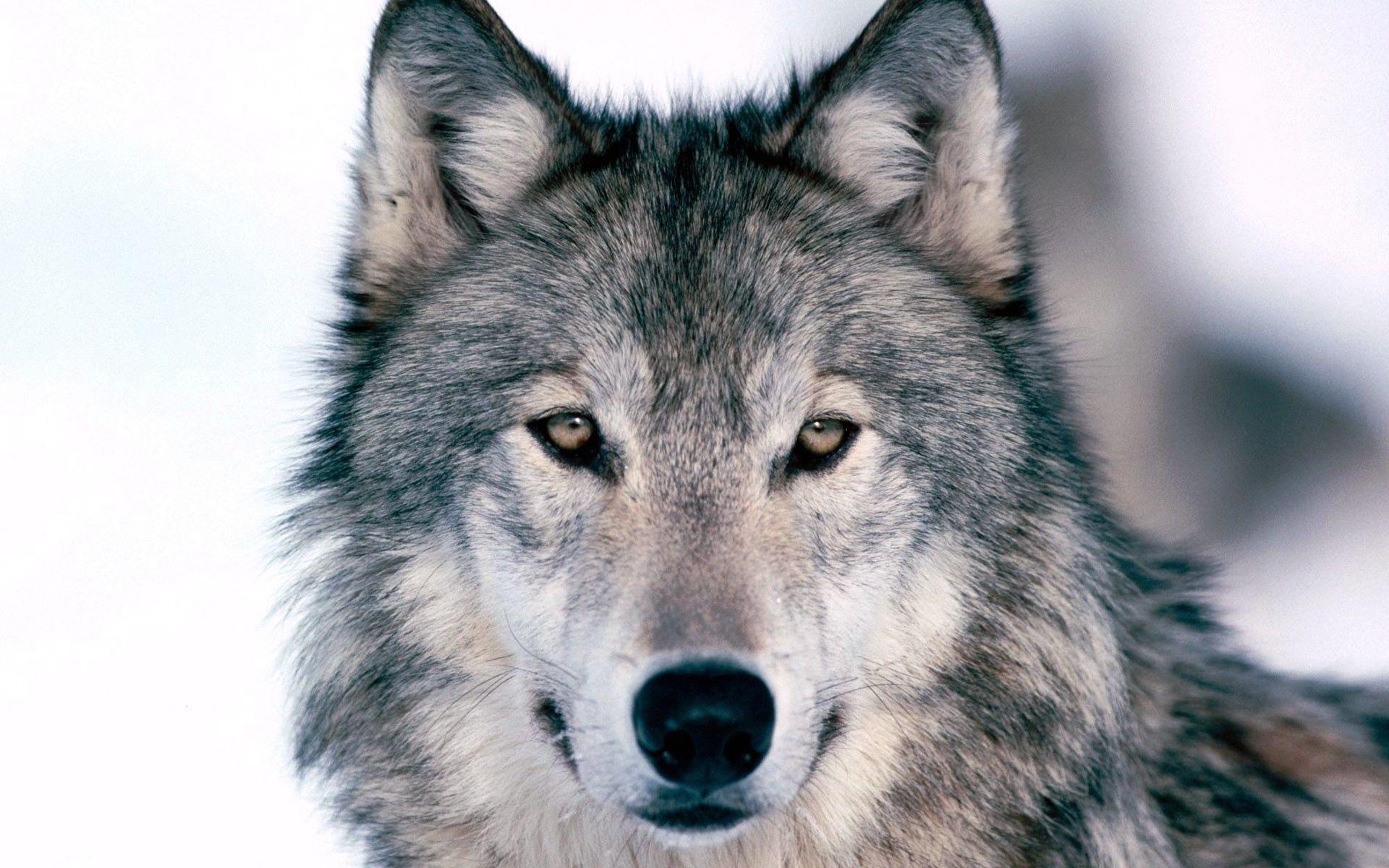 томный волки фото