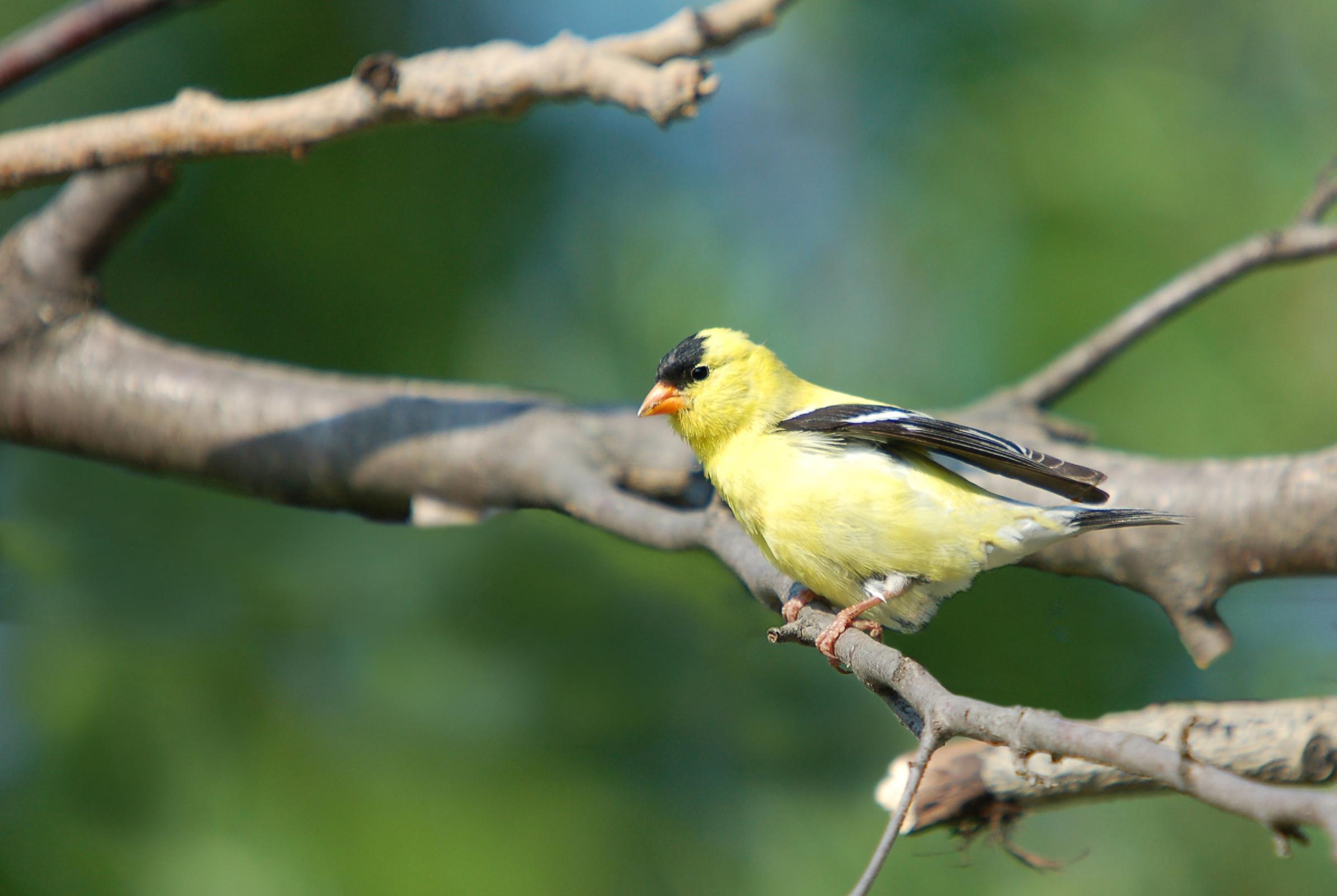 Желтая птичка загрузить