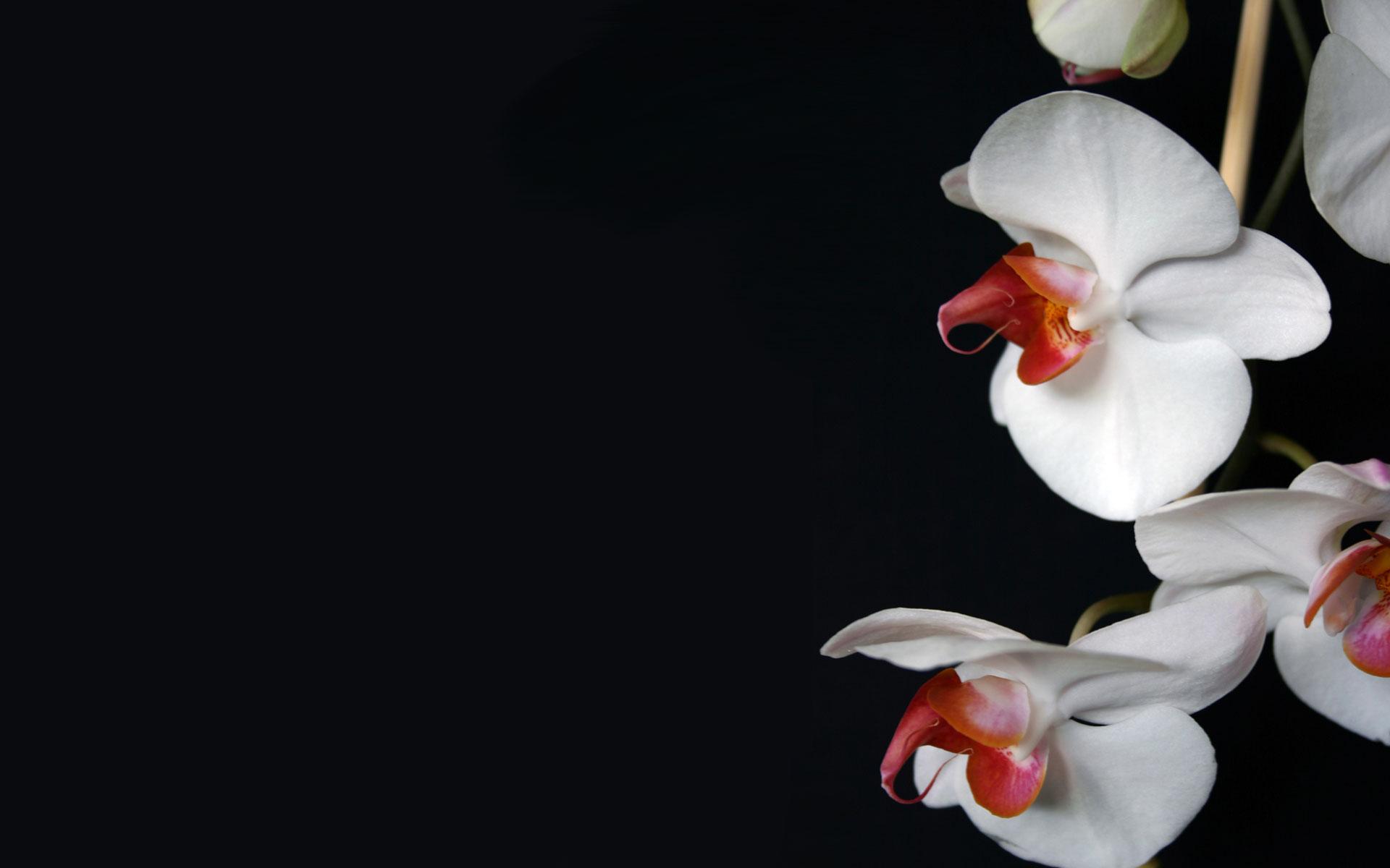 Картинки На Рабочий Стол Цветы Орхидеи