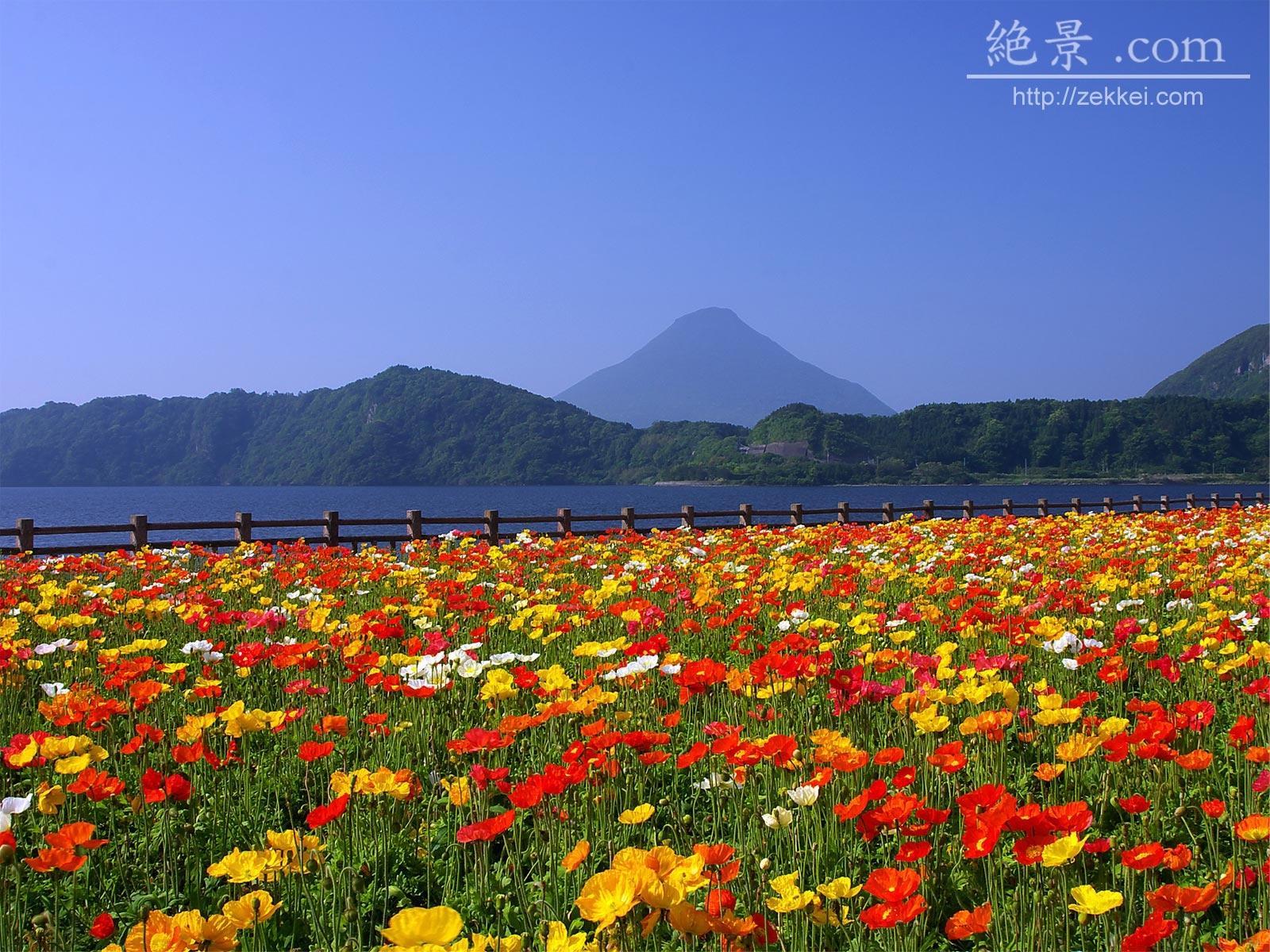 Эшшольция фото цветов 7 фотография
