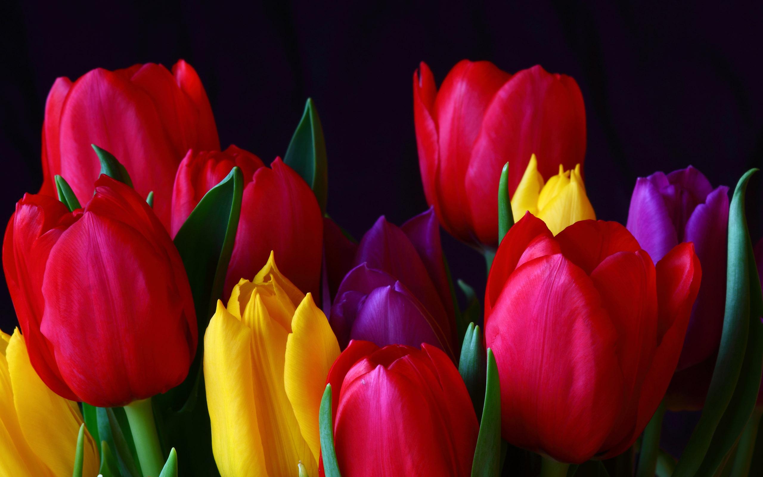 обои для рабочего тюльпаны: