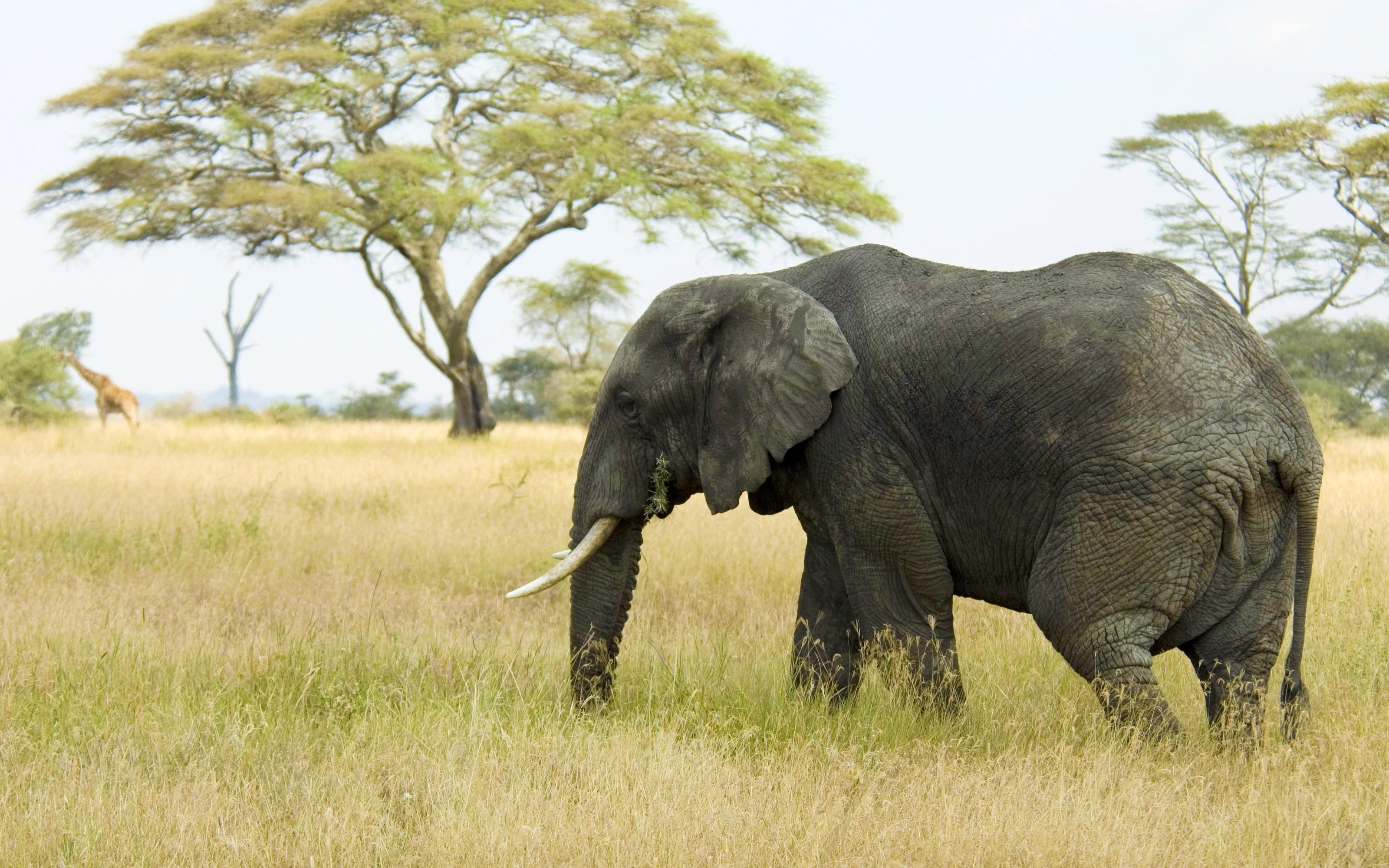 Слон  № 1010772 бесплатно