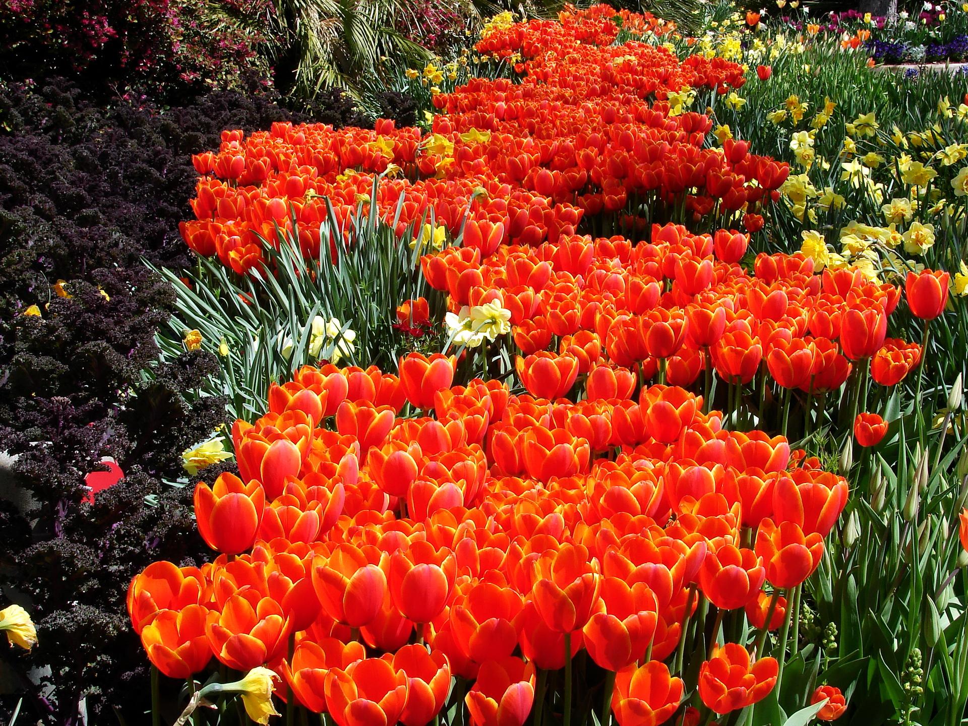 тюльпаны клумба  № 1349336 бесплатно