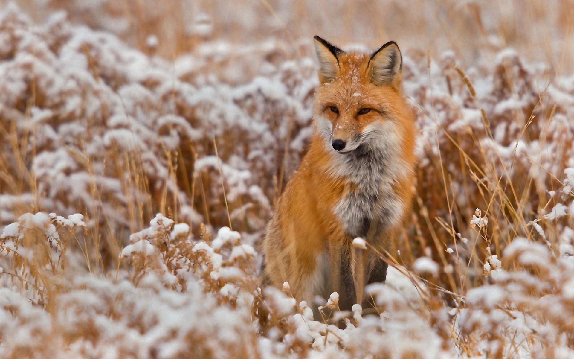 عکس دم روباه
