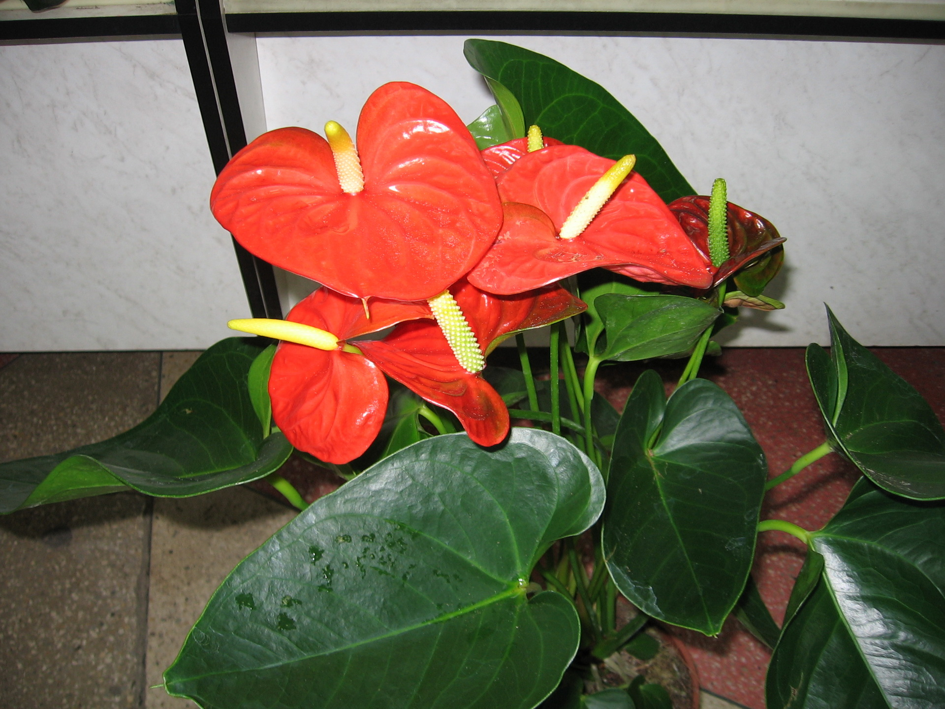 Домашний цветок цветет красными цветами название фото