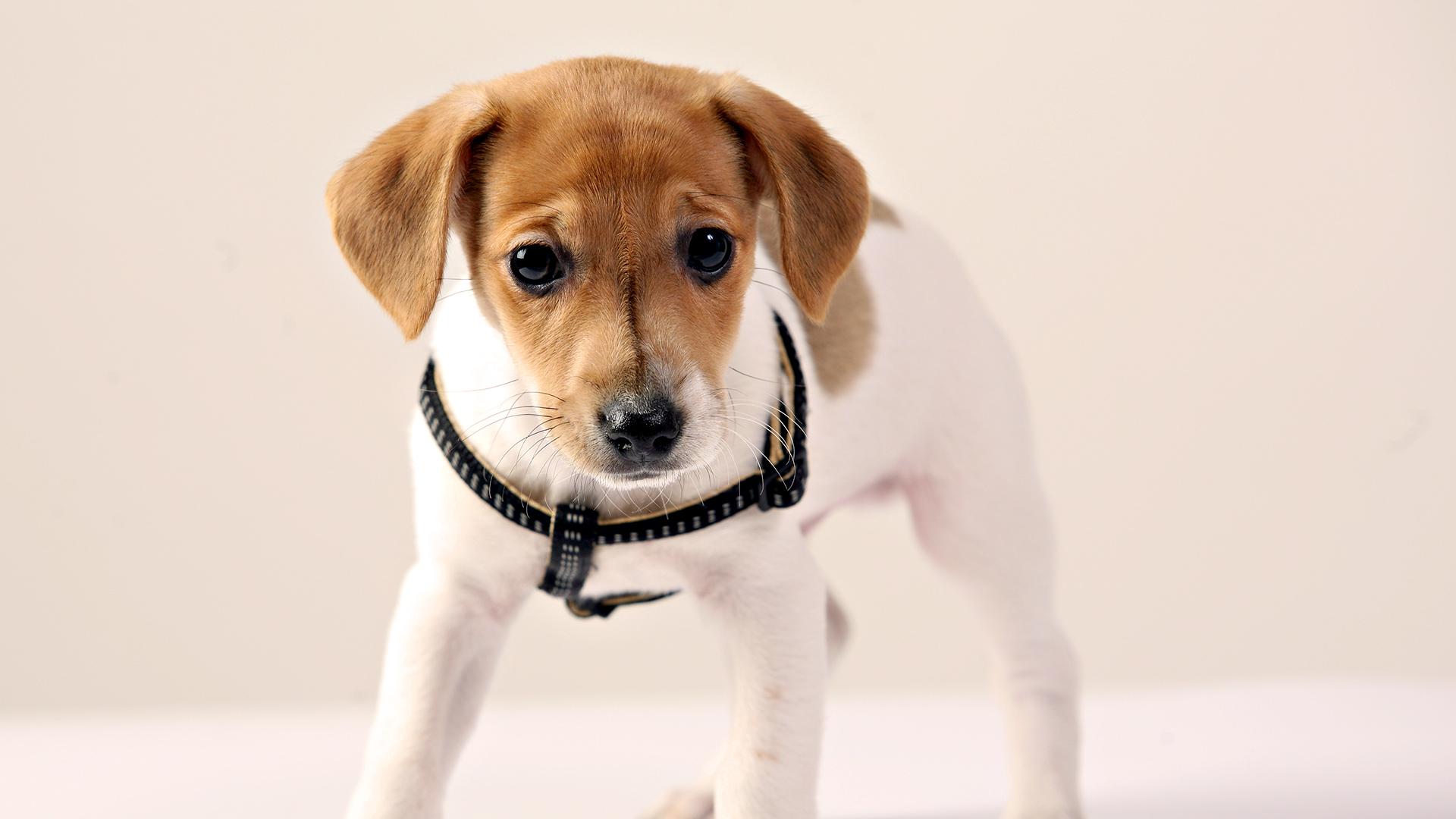 собака мордочка уши  № 1069365 без смс