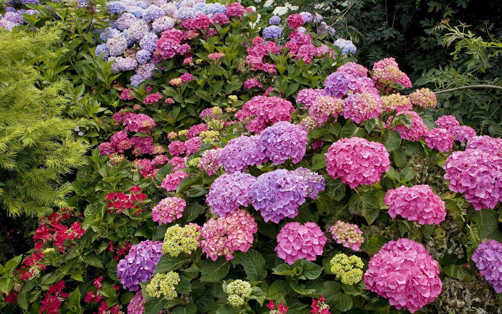 цветок гортензия фото:
