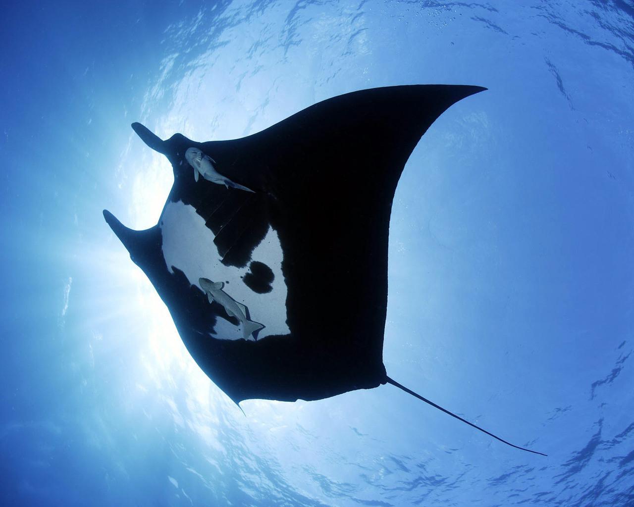 Картинки Скаты Подводный мир животное Животные