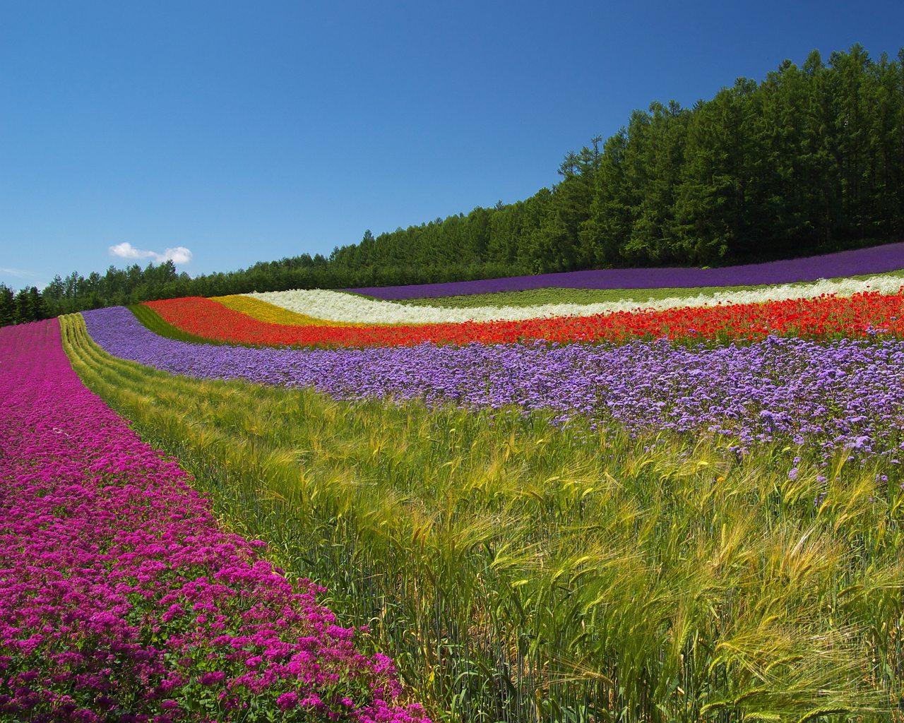 фото поле цветов:
