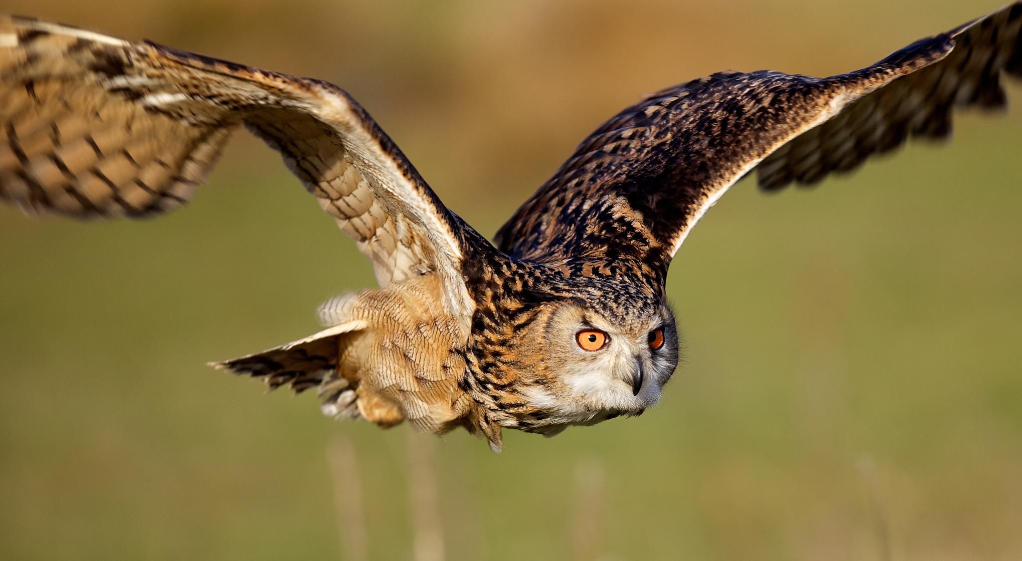 Летящая сова  № 481252 без смс