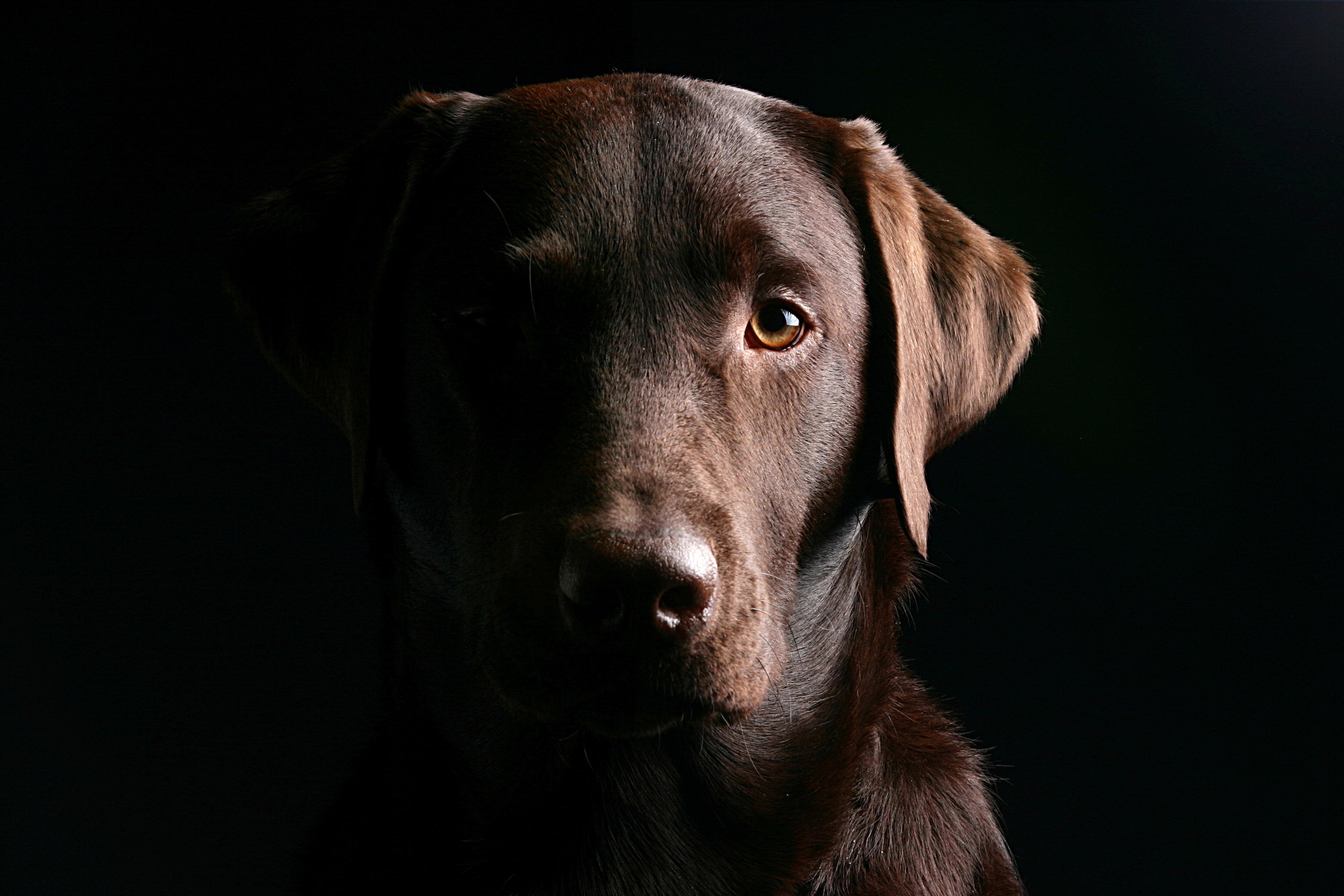 Пёс черный взгляд  № 1127478  скачать