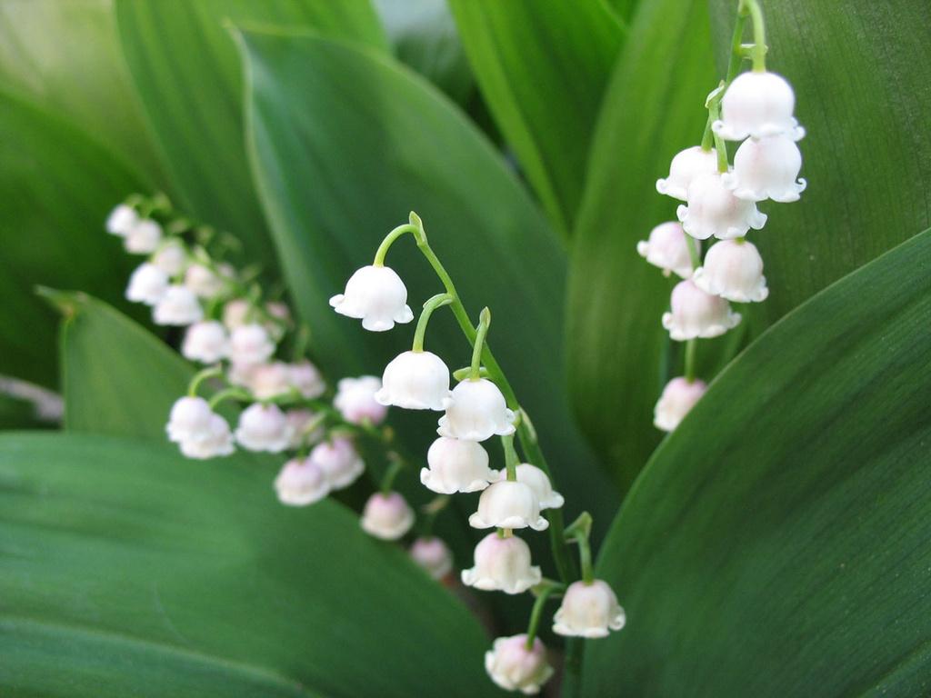 цветы святости ландыши широкоформатные картинки фото картинки есть
