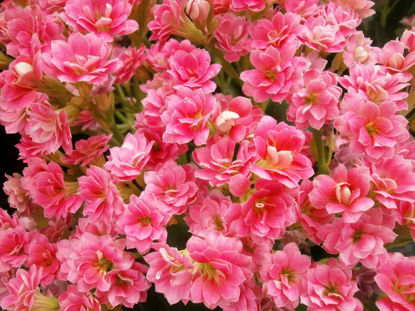 Название комнатных цветов розовые