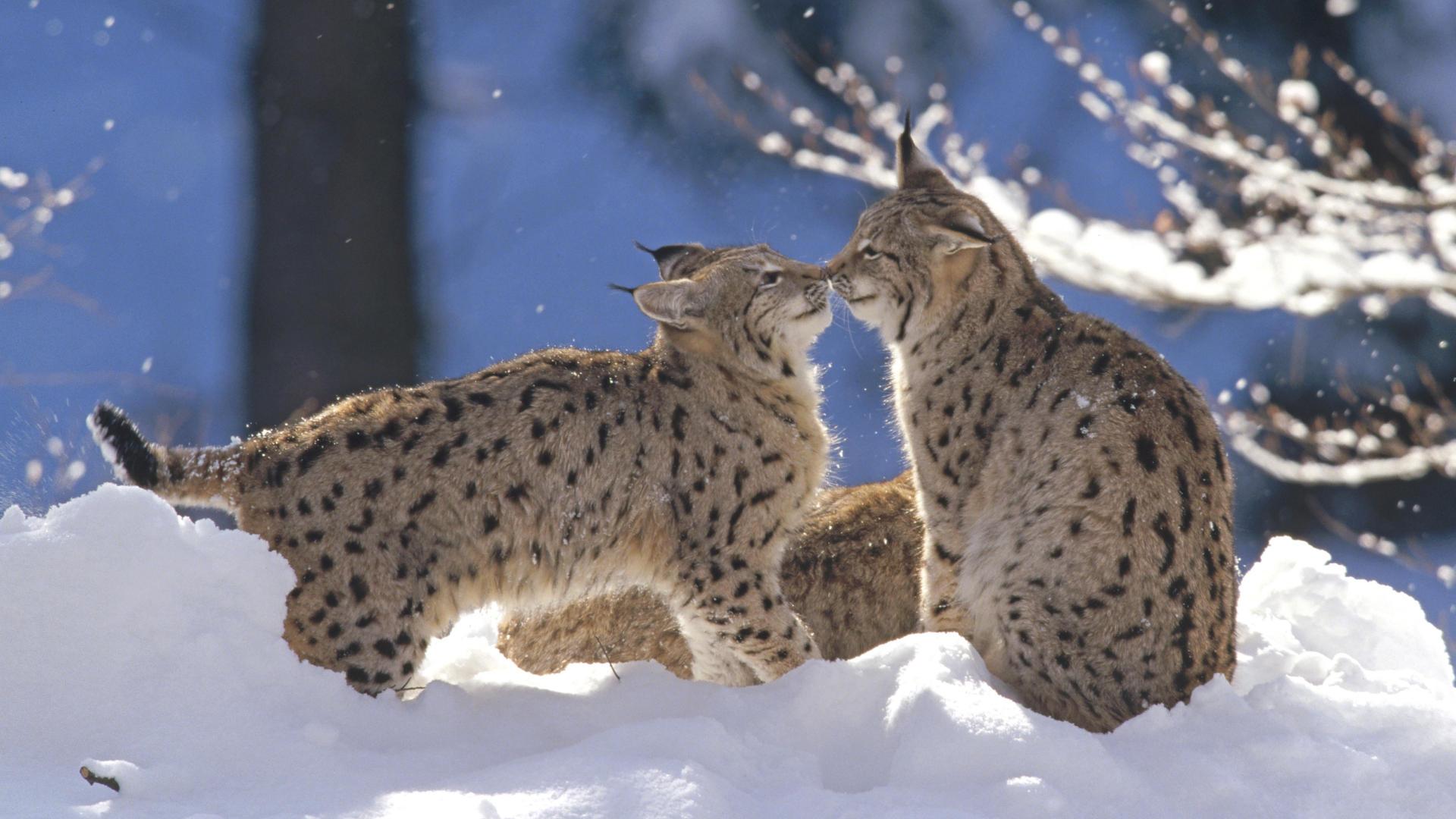 Проза ру снежная рысь
