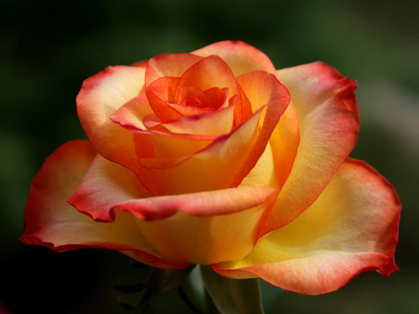 Роза хей мэджик фото 6