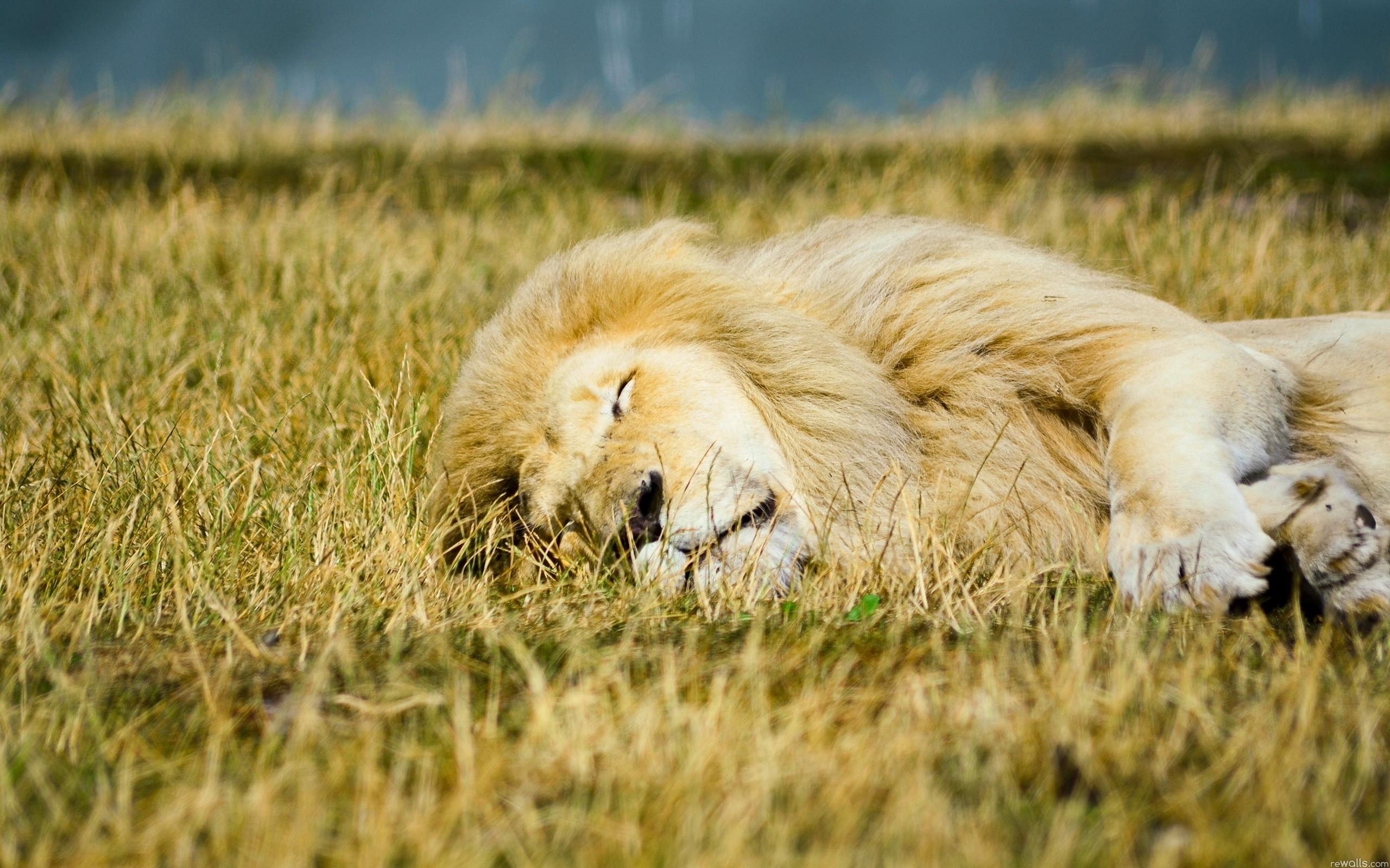 природа животное лев загрузить