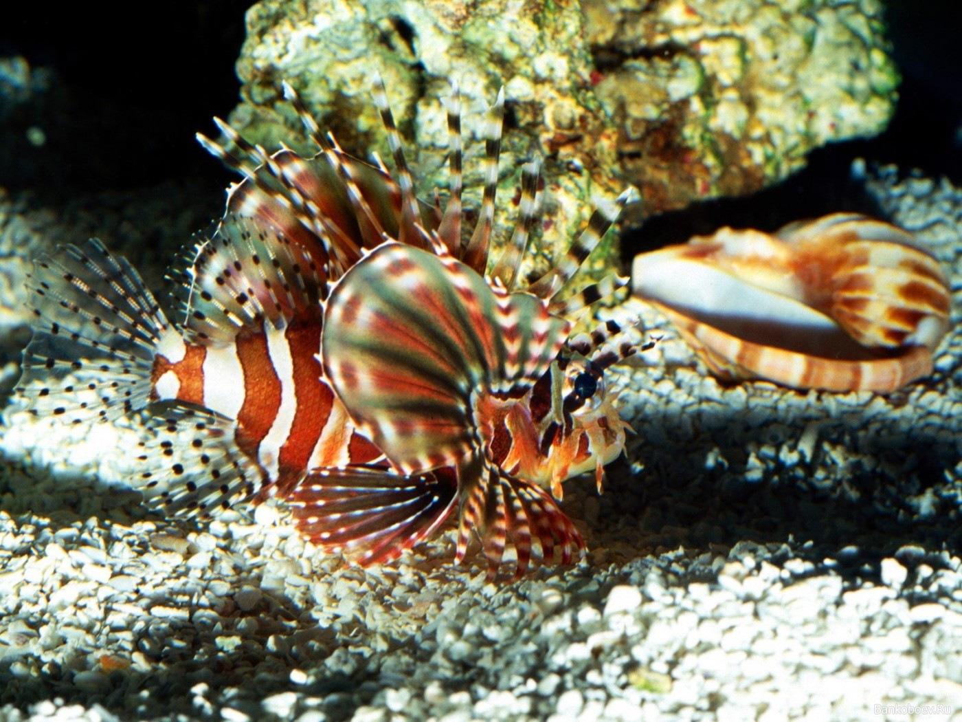 Фото Крылатки Рыбы Подводный мир Животные крылатка животное