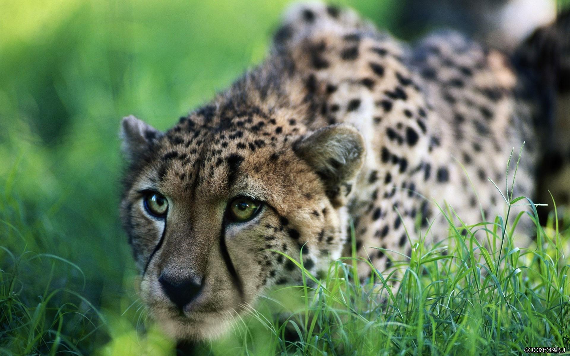 Затаившийся гепард  № 699152  скачать