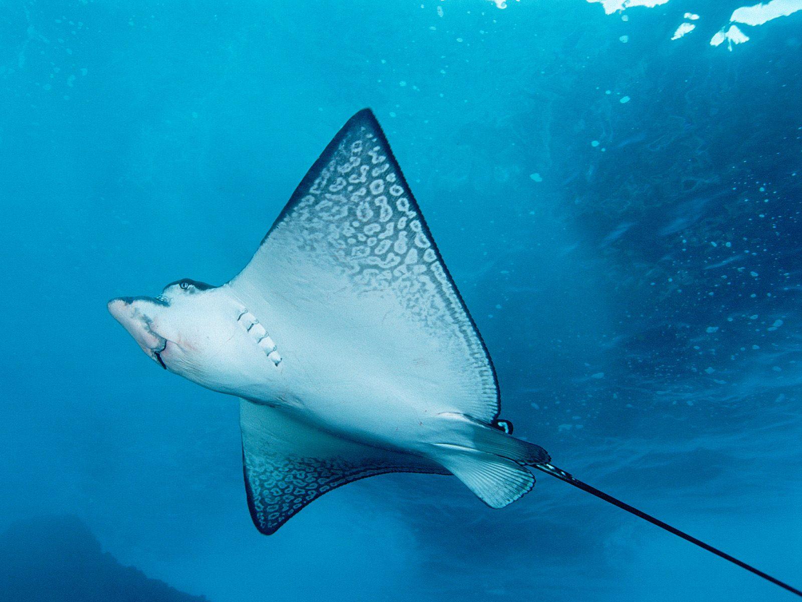Картинка Скаты Подводный мир Животные животное