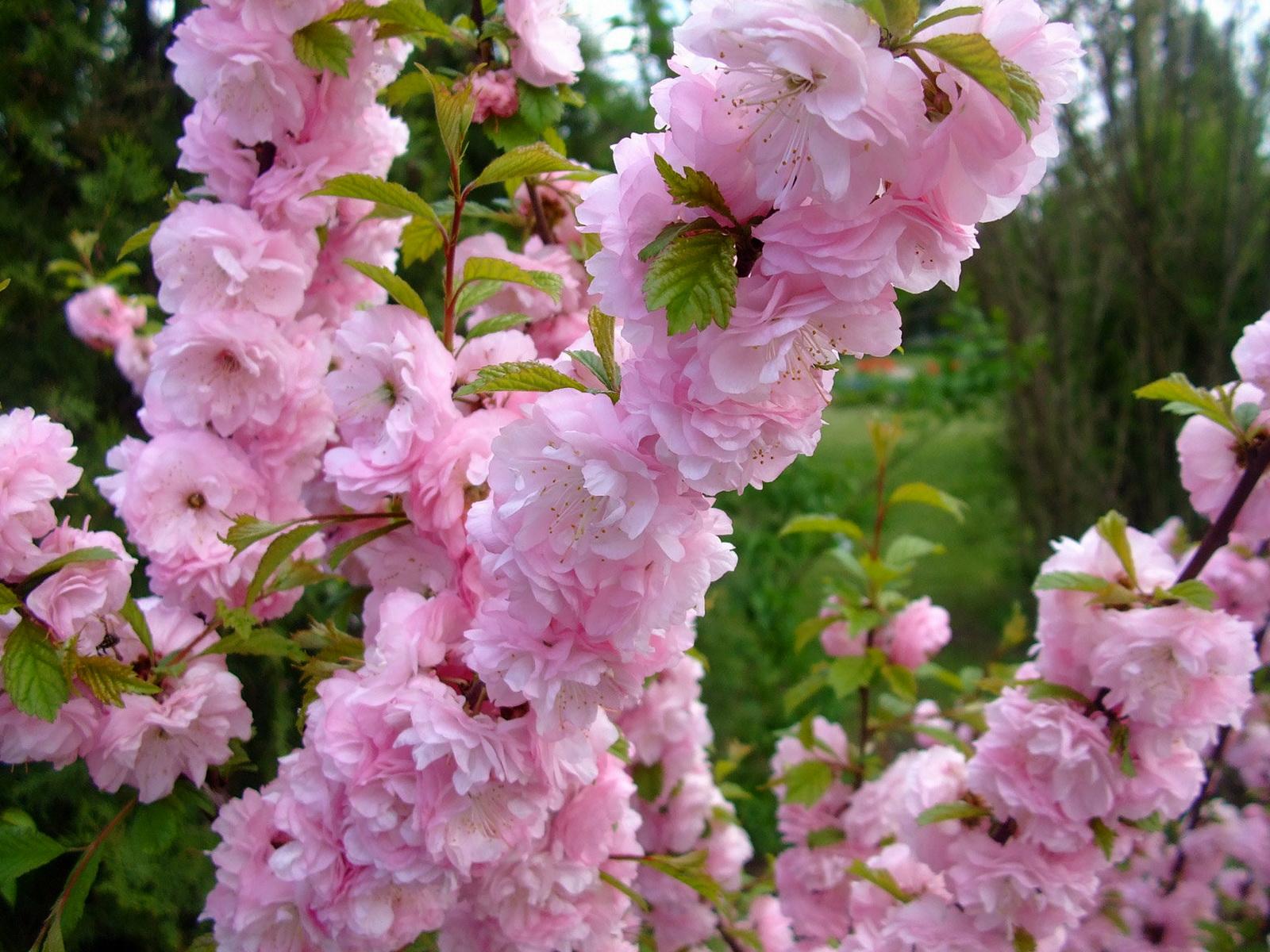 Деревья с розовыми цветами название и фото