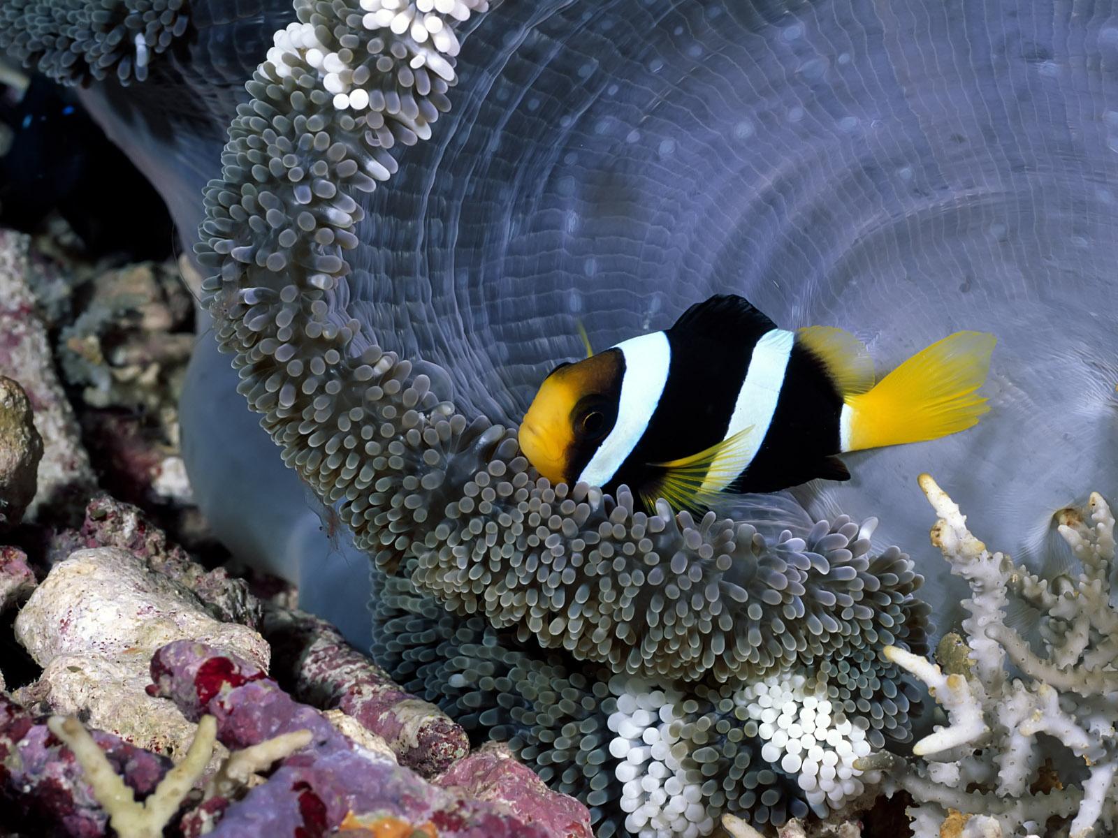 природа рыба клоун актинии скачать