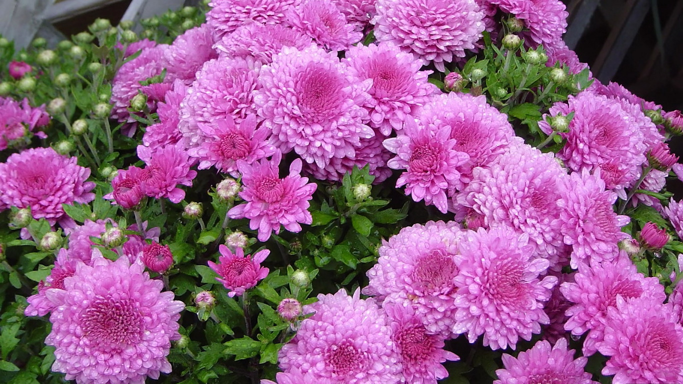 обои на рабочий стол осень цветы хризантемы 6132
